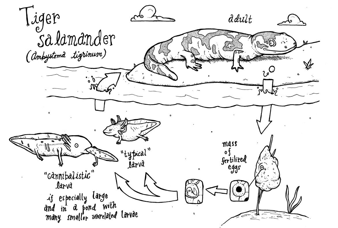 Tiger Salamander Life Cycle