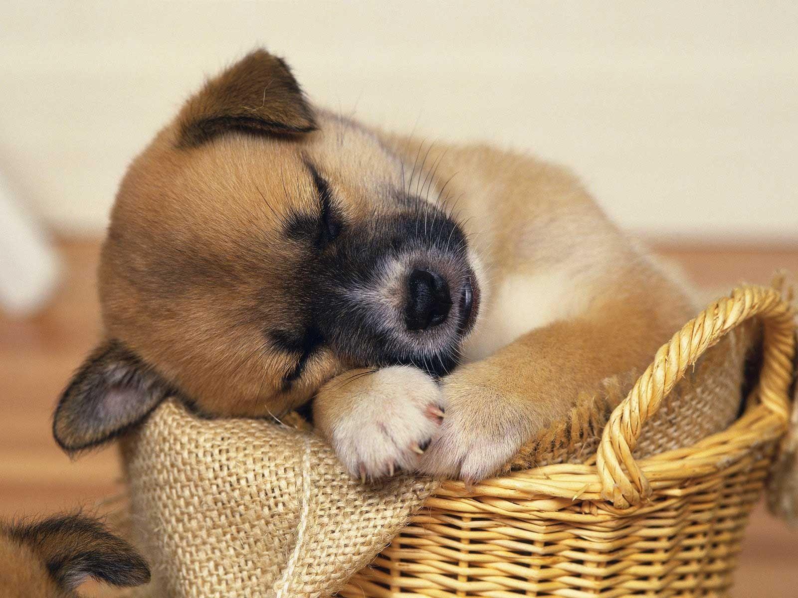 cute baby puppies sleeping | amazing wallpapers | pinterest | baby