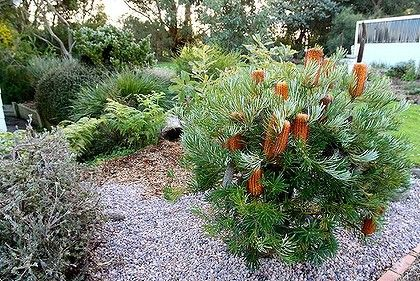 Australian Rock Garden Banksia Ground Cover Gardens