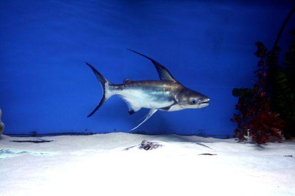 The giant pangasius Paroon Shark or Chao Phraya giant