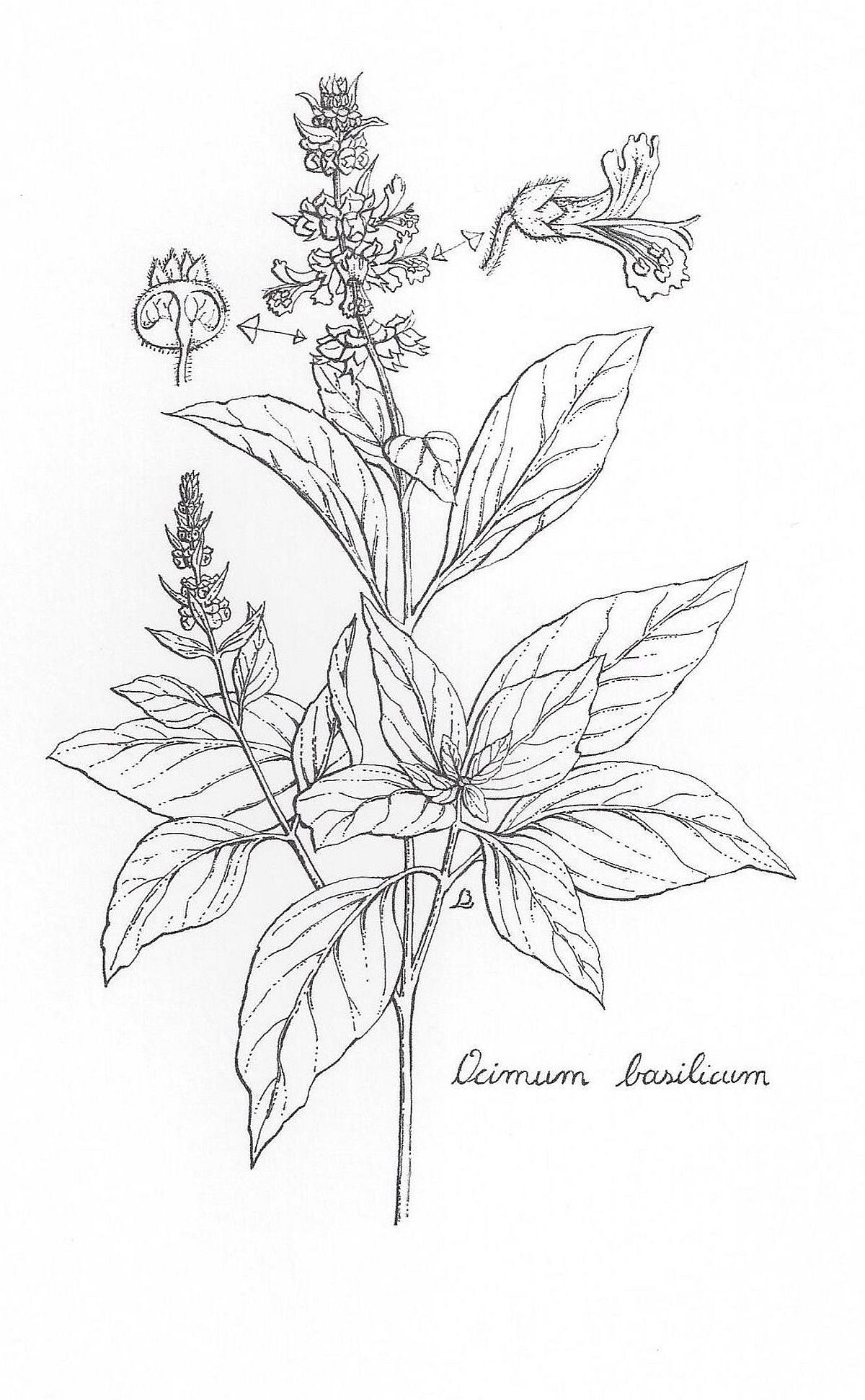 Pin By Ian Brealey On Botanical Illustrations