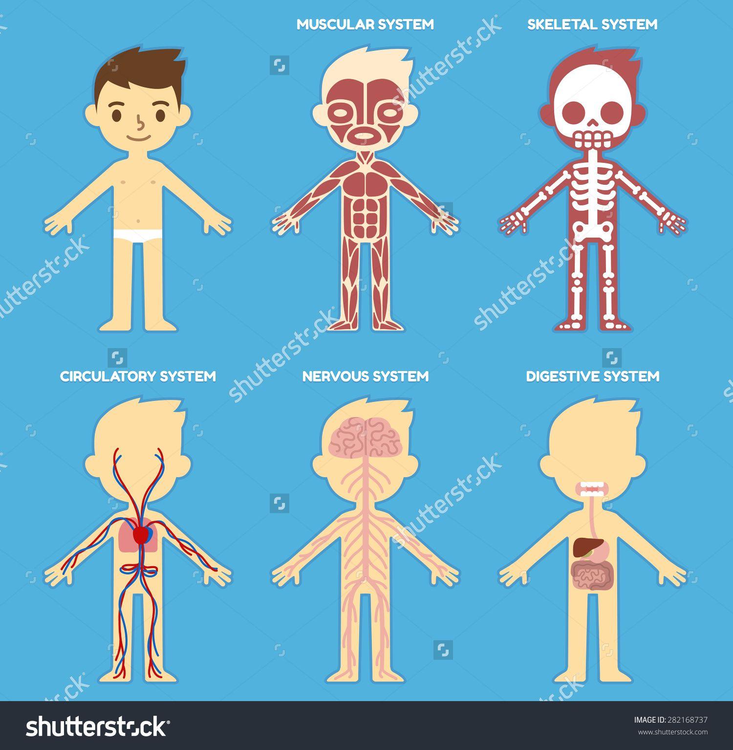 Stock Vector My Body Educational Anatomy Body Organ Chart