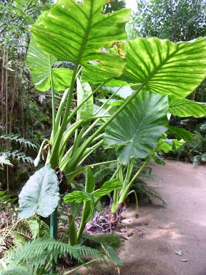 plante exotique intrieur  Planter des oreilles d