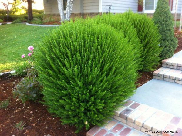 medium textured shrubs - compact