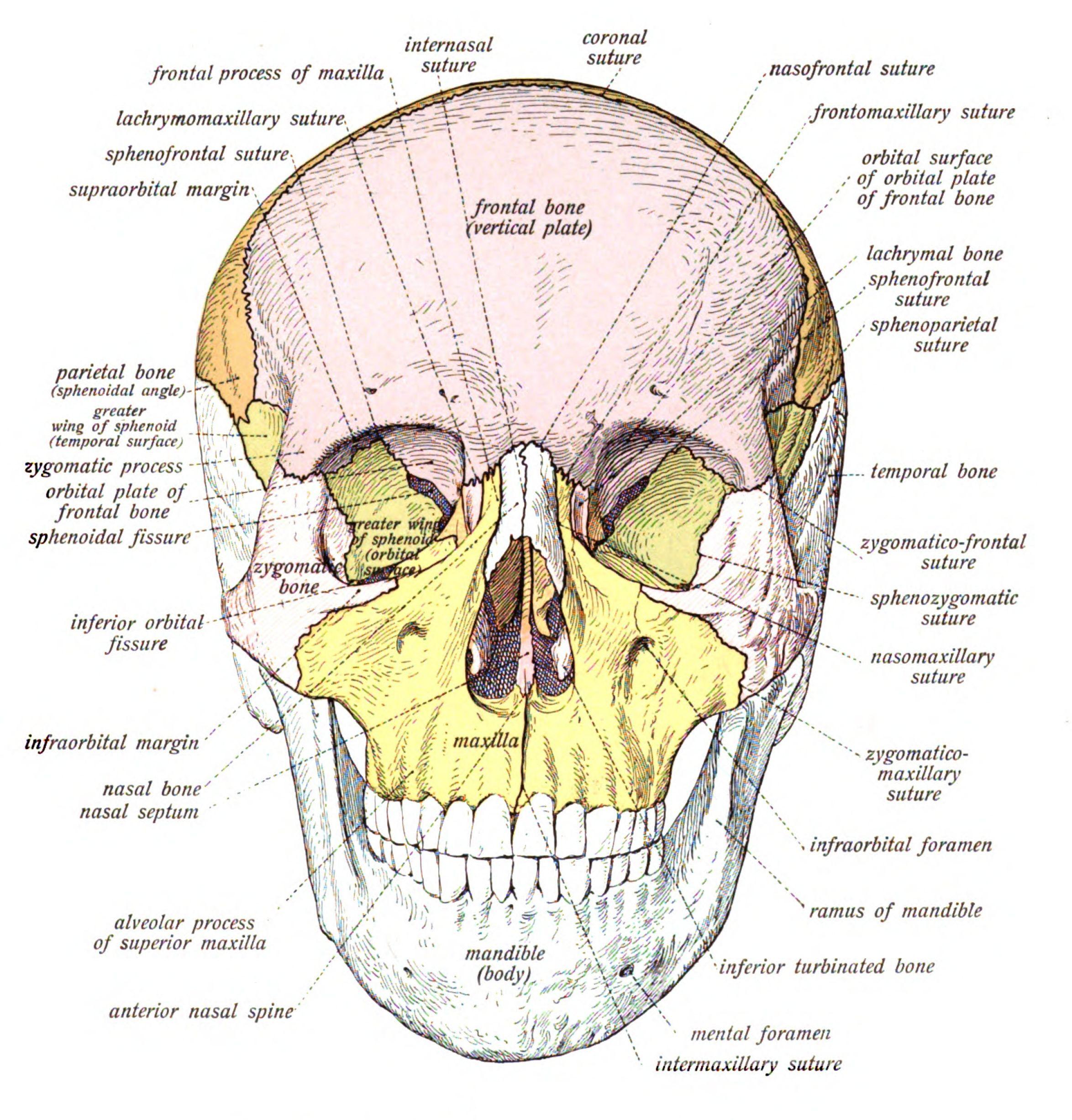 Free Forensic Science Worksheets Bones Free Best Free Printable Worksheets