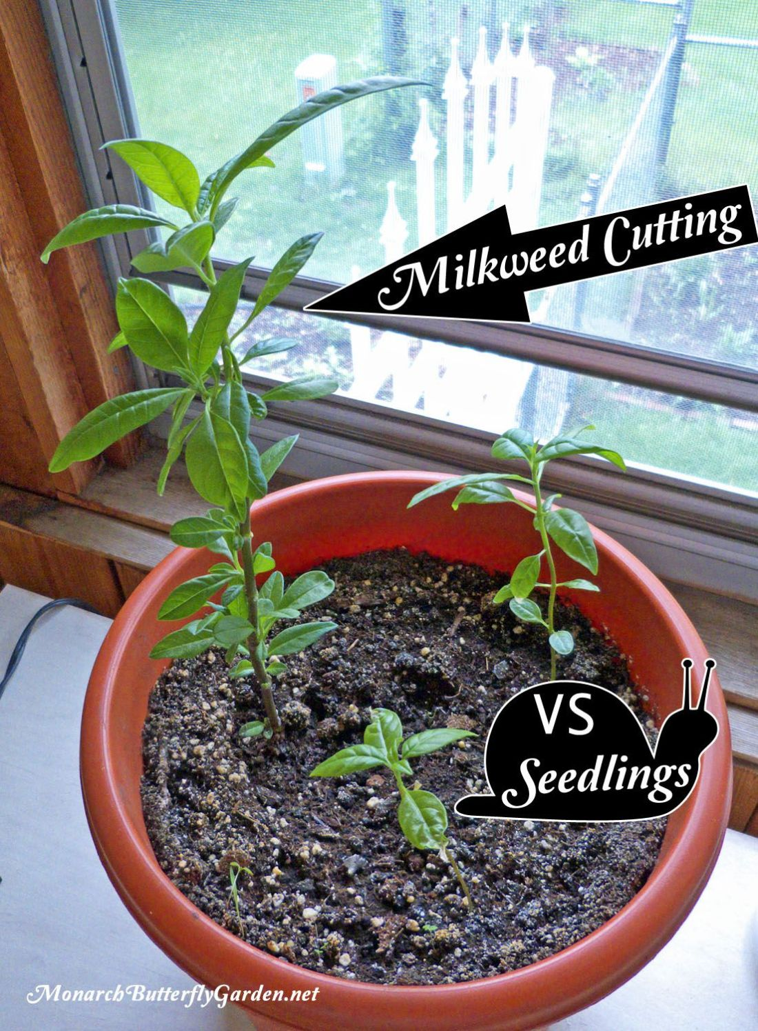 Grow from cuttings tropical milkweed propagation the o