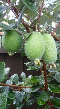 The Feijoa - fruit from New Zealand | Fruit trees | Pinterest