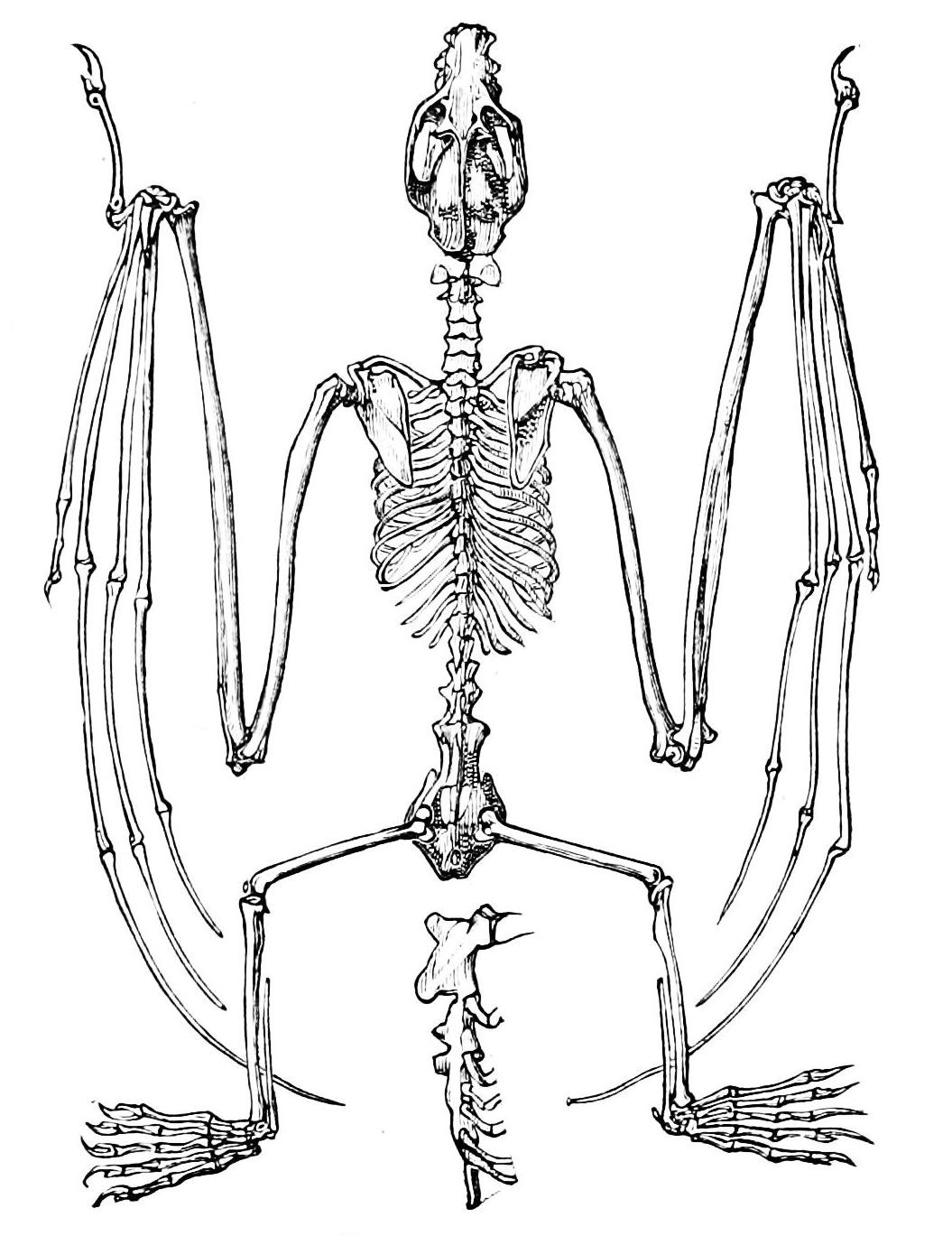 duck skeleton diagram vw beetle charging system wiring bird bones anatomy pesquisa google short film