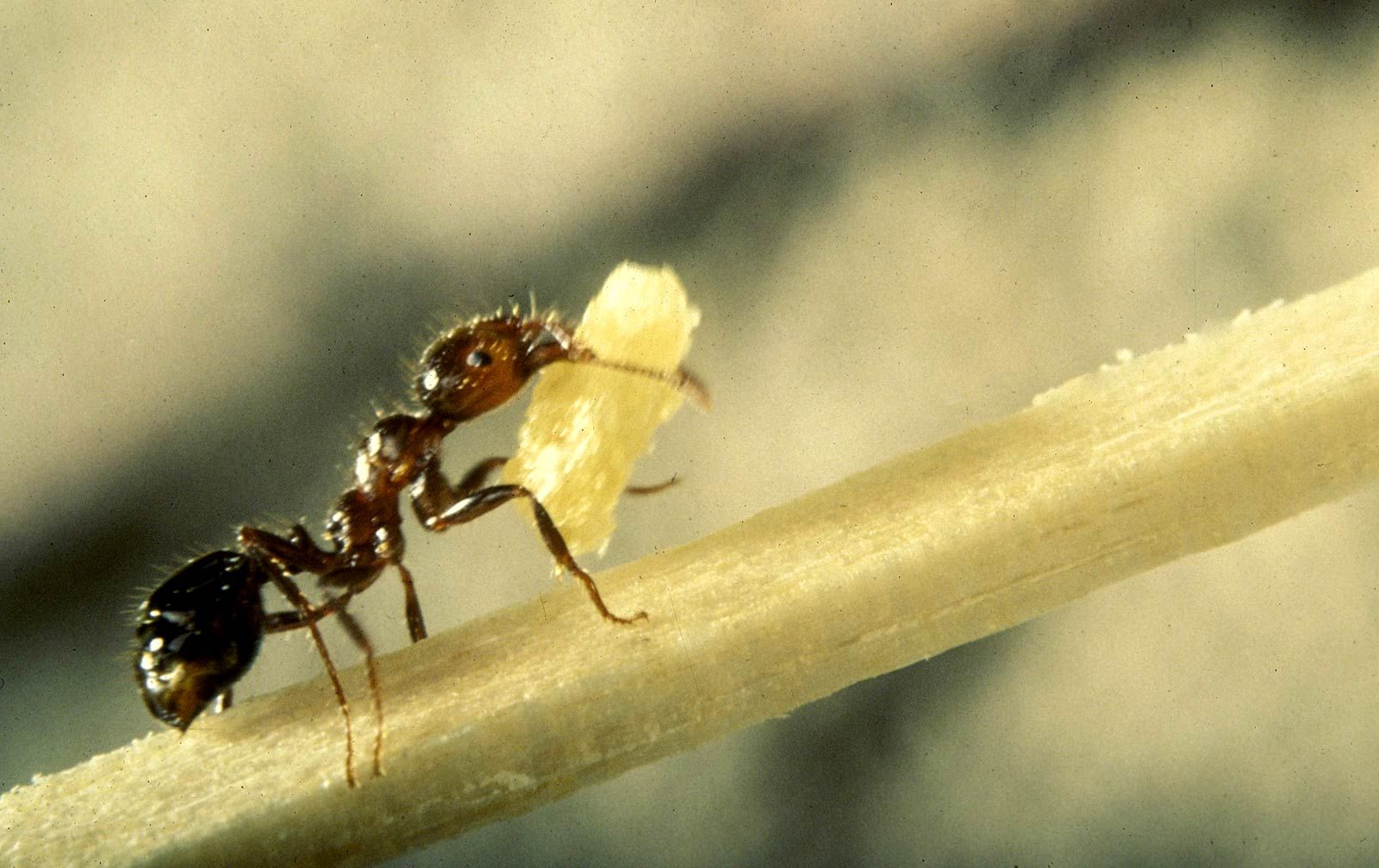 ant macro photography wallpaper worker ants insect wallpaper | ant