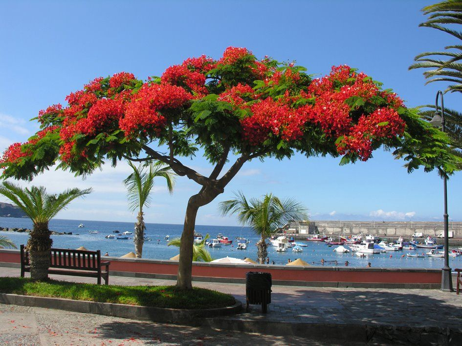 Tenerife Is A Blaze Of Colour With These Flamboyant Trees