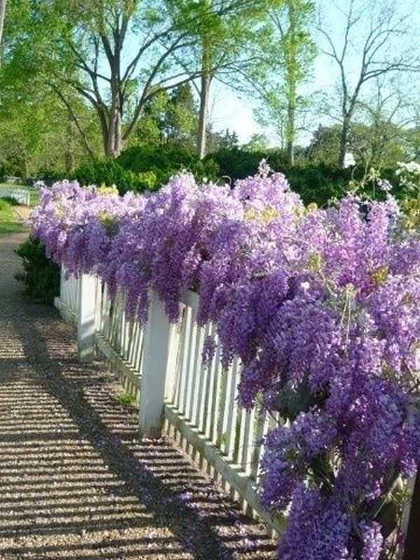 growing wisteria in pot