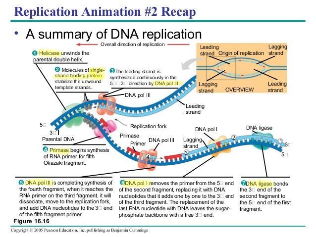 Bacterial Replication Fork Diagram