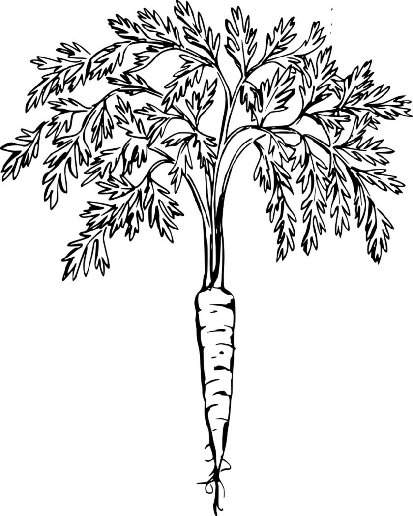 free printable carrot coloring page  ~*free printables