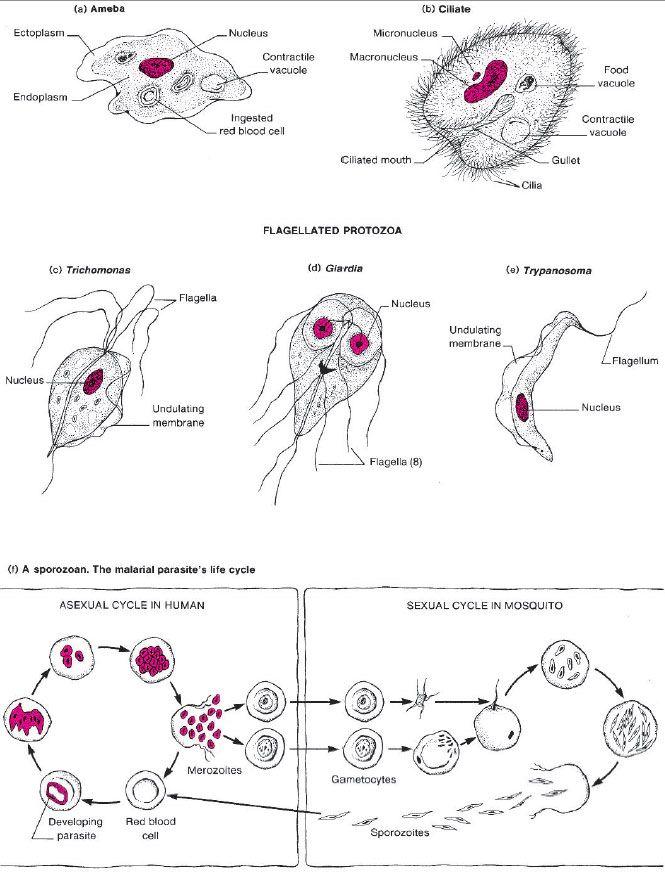 Diagrams of four types of protozoa. (a) An active ameba