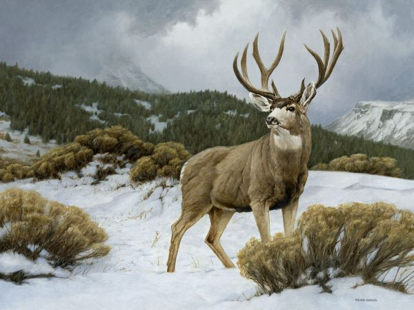 Mule Deer Art - Google Wildlife