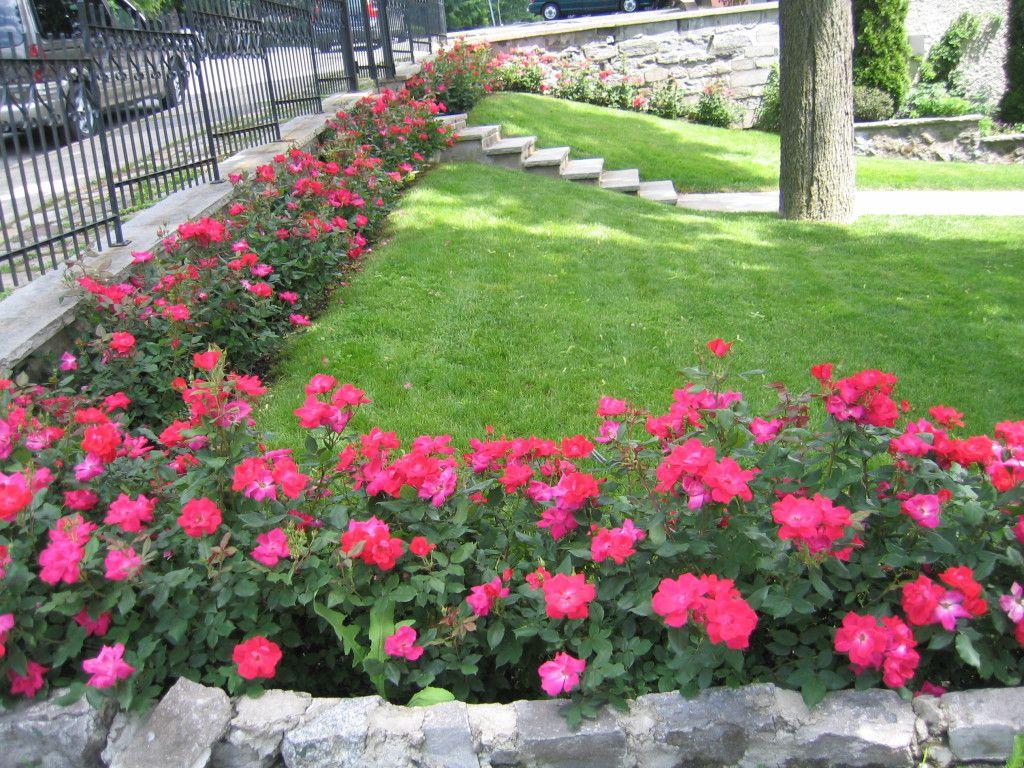Garden Ideas With Knockout Roses Garden Design Landscape Ideas