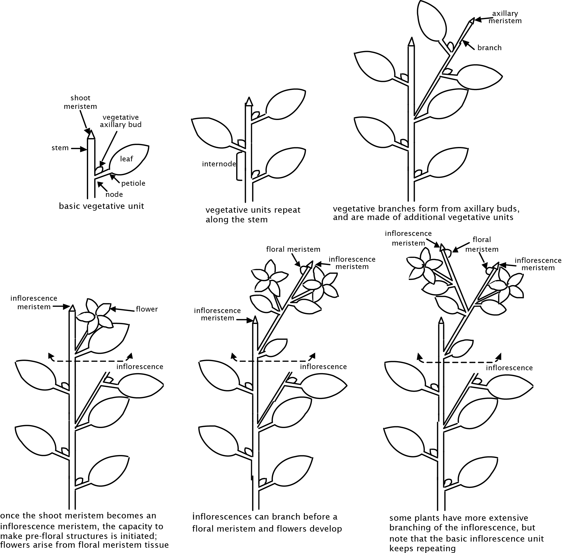 Brassica Plant Diagram Can You Draw Like This