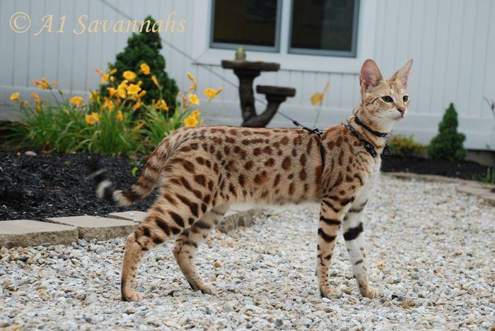 F Savannah Cat For Sale Canada