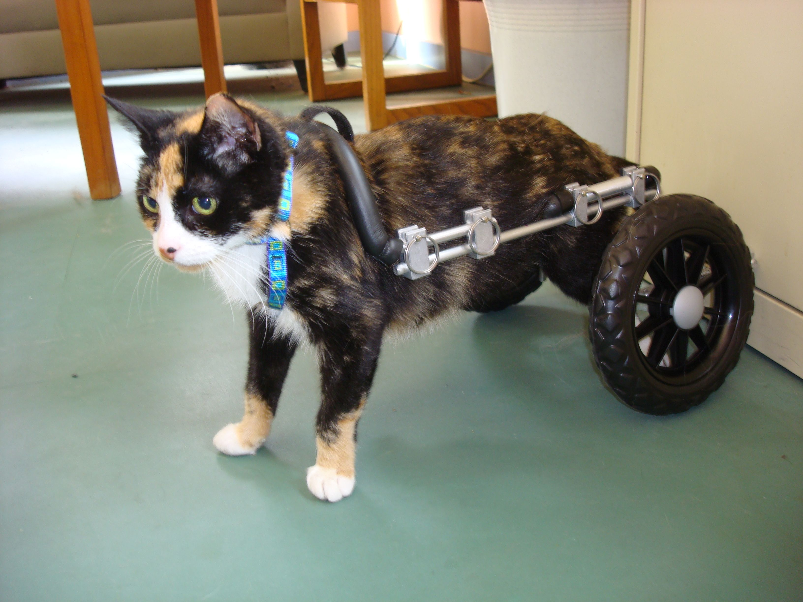 wheel chairs for dogs office bungee chair cat wheelchairs at eddie 39s wheels dog
