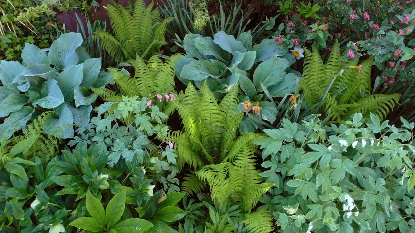 The Back Border In Early May Blue Halcyon Hostas Ostrich Fern