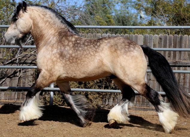 sooty buckskin  Gypsy Cob stallion Irish Outlaw  colours