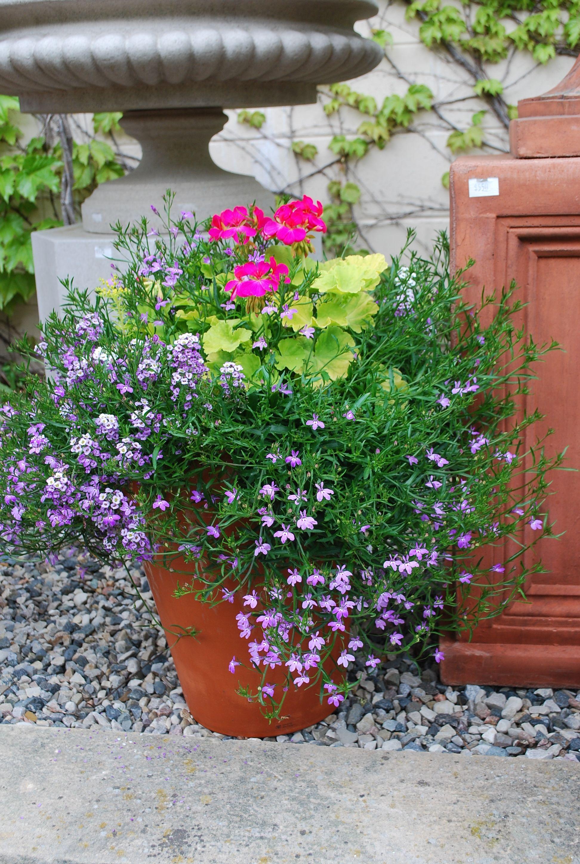 Persian Queen Geranium And Lavender Lobelia Spring Container