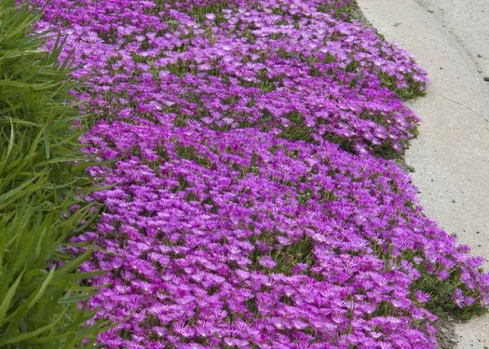 Drought tolerant ice plant delosperma is right at home along this cement curbside few sun perennials can take such less than forgiving locations yet also best images about ground cover for bank on pinterest pathways