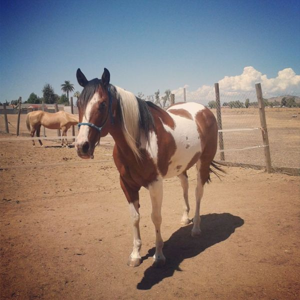 My Bay Tobiano TriColor APHA Lady Liberty Paint Horse