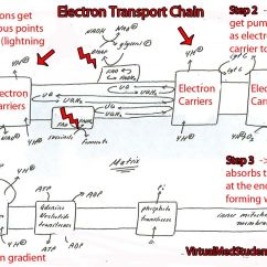 Electron Transport Chain Simple Diagram 06 F150 Headlight Wiring The Is One Complicated Beast