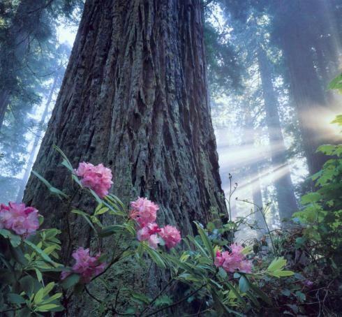 planting under redwood trees