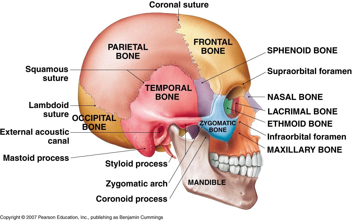 Lateral View Of The Brain Labeled Diagram