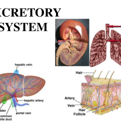 Excretory System Diagram Basic 7 Pole Plug Wiring Pelautscom Human Pinterest