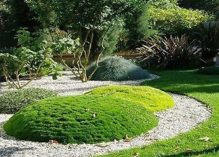 Irish moss ground cover seeds sagina subulata under the sun also zone ornamental grass