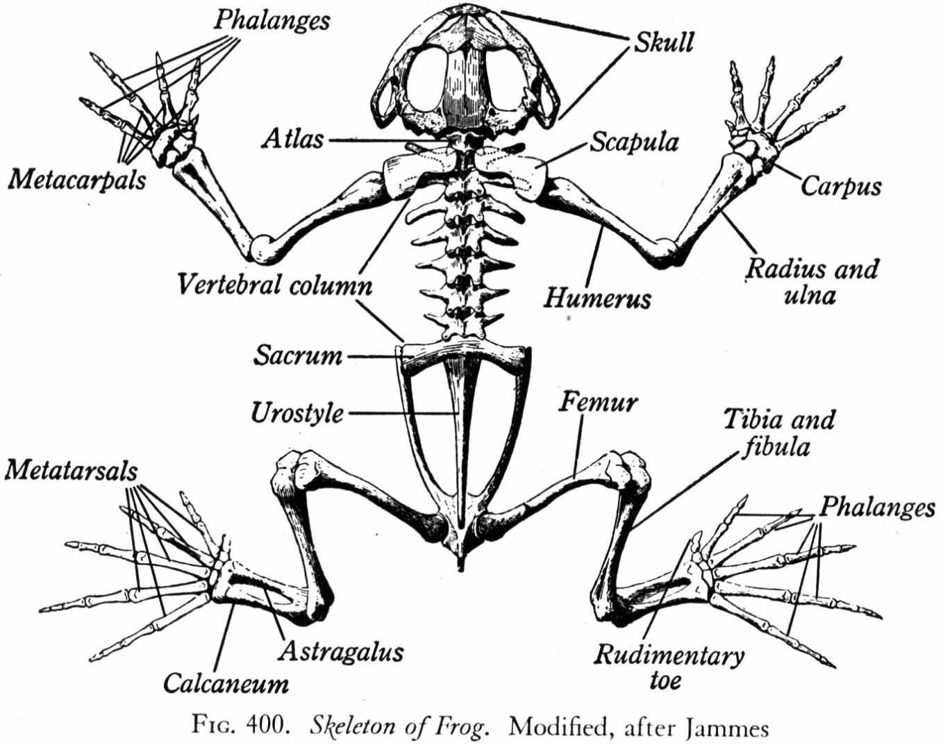 frog head diagram labeled l14 30 plug wiring skeleton google search tattoos pinterest