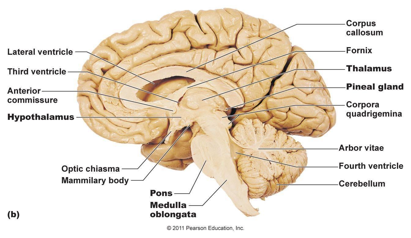 sheep brain superior view diagram seymour duncan hot rails wiring cerebrum thalamus hypothalamus pons medulla