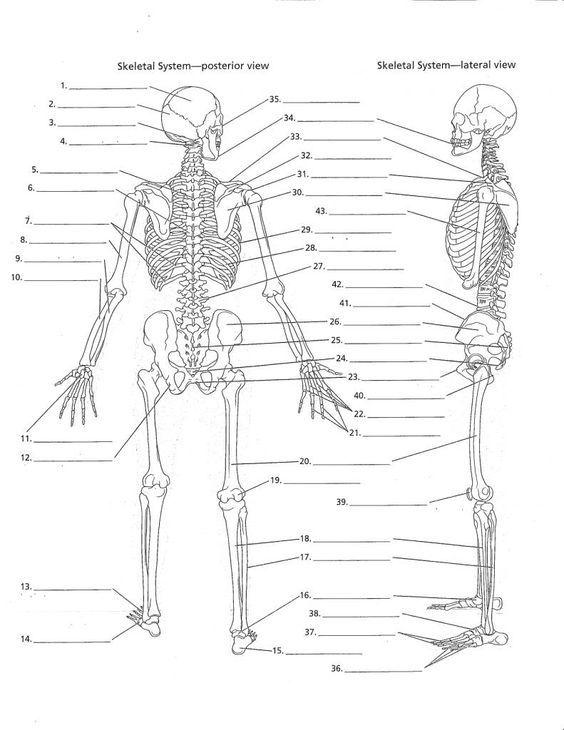 Afbeeldingsresultaat voor anatomy labeling worksheets