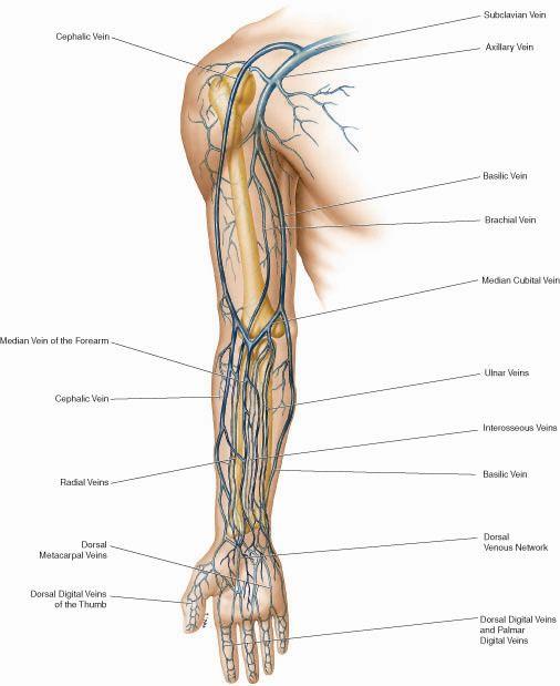 Upper Limb Skeletal System Diagrams