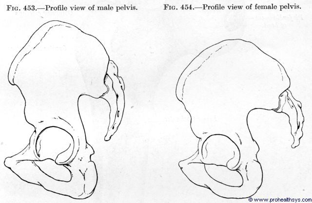 Male pelvis lateral view and female pelvis lateral view