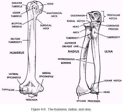 Human Skeleton Ulna And Radius