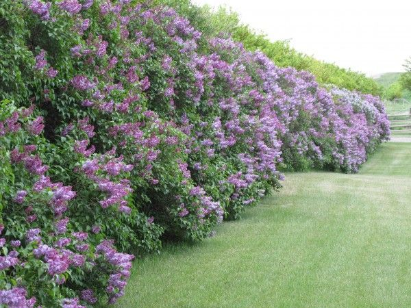 backyard privacy plants lilac