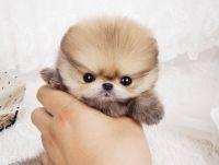 Pomeranian | Micro dogs | Pinterest | Teacup pomeranian ...