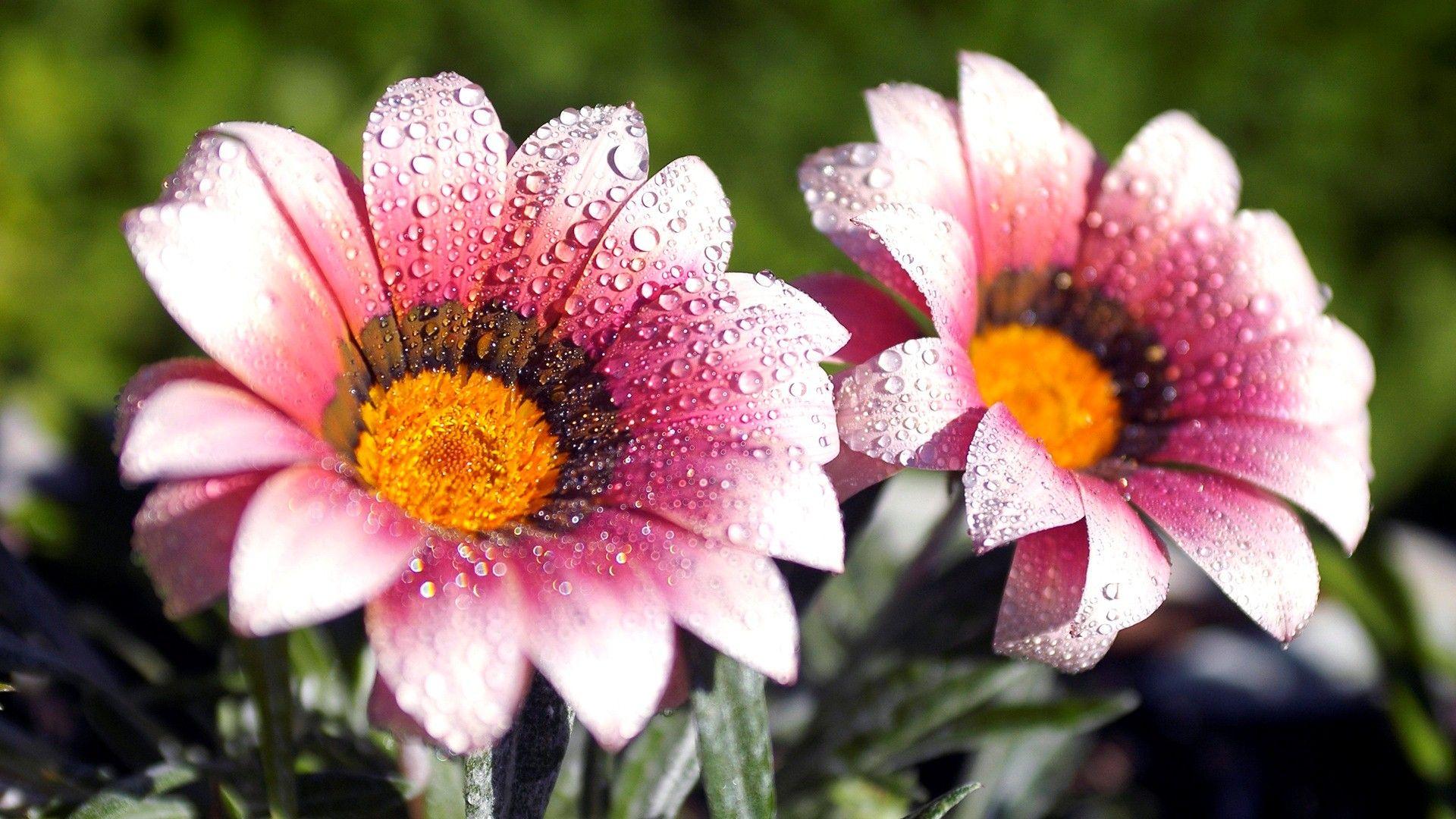 Beautiful Amazing Flower Water Drops Hd Wallpaper
