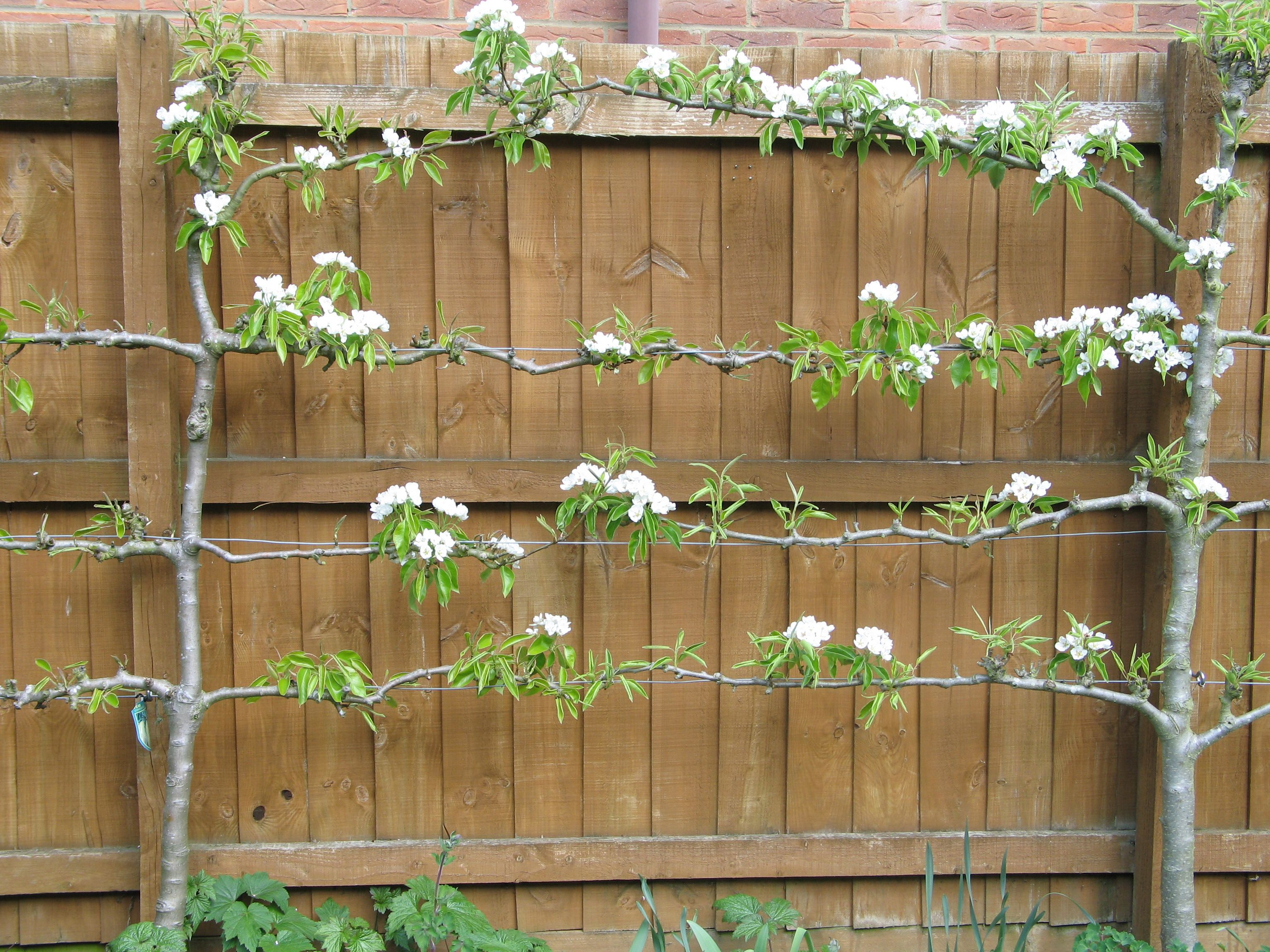 Small Garden Ideas Fruit Trees For Small Gardens Karen Tizzard