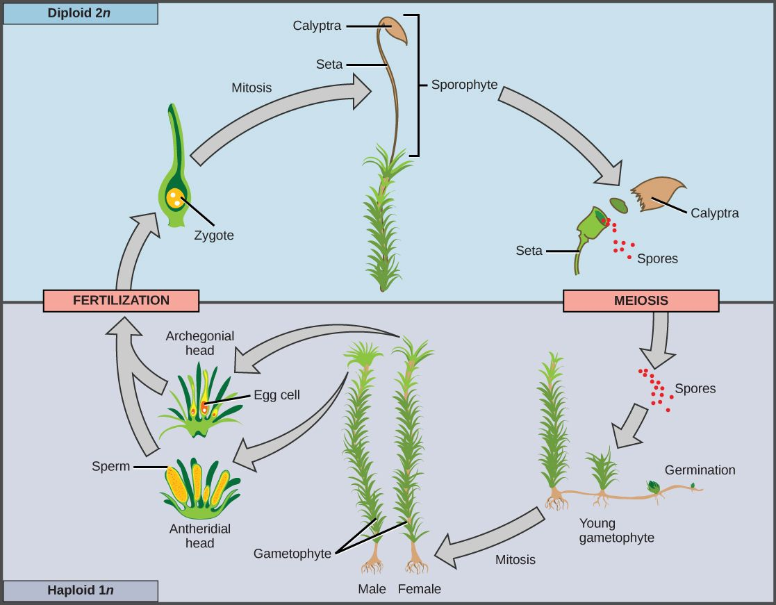 Sporogenous Tissue Undergoes Meiosis To Produce Haploid