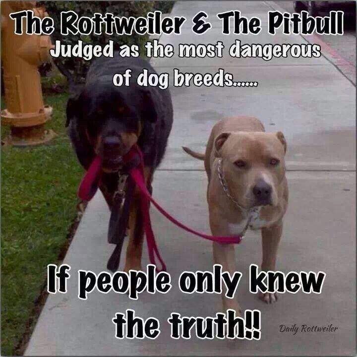Funny Pictures Full Blooded Pit Bulls