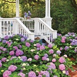 hydrangeas front porch