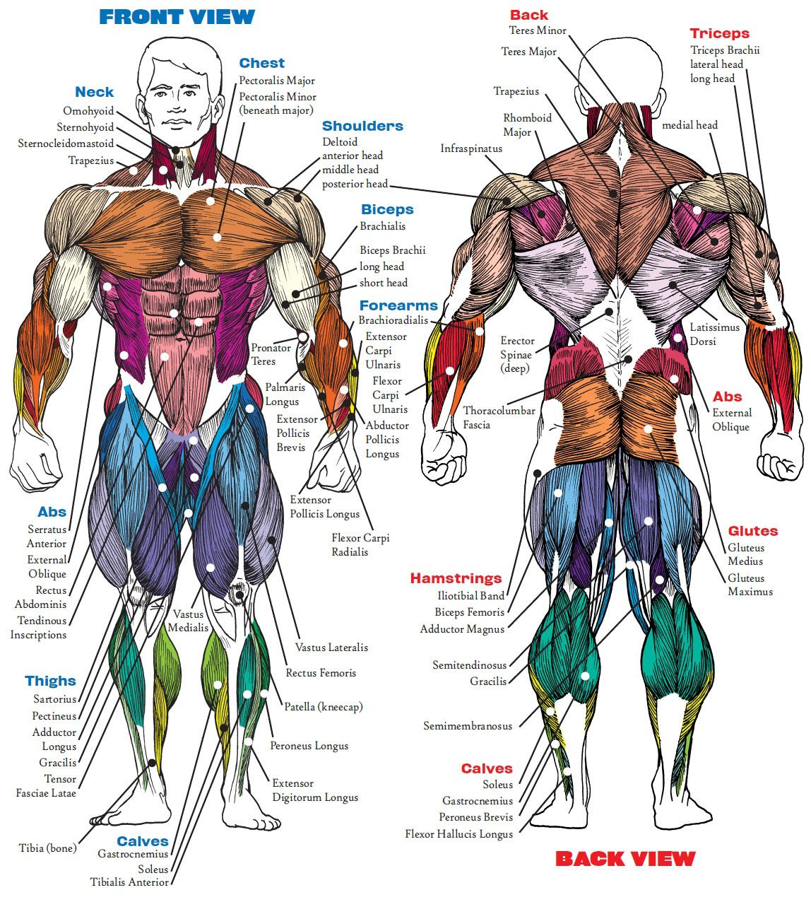 human muscles diagram labeled front and back 2002 f150 ignition wiring view anatomy pinterest muscle