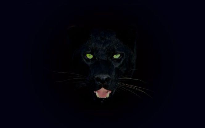 Black jaguar animal wallpaper hd best jaguar in the word 2018 wild cat jaguar panther predator black hd wallpaper 1600x900 voltagebd Images