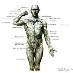 Lymph Circulation Diagram Winch Wiring 4 Solenoids Lymphatic System Google Search The Human Body