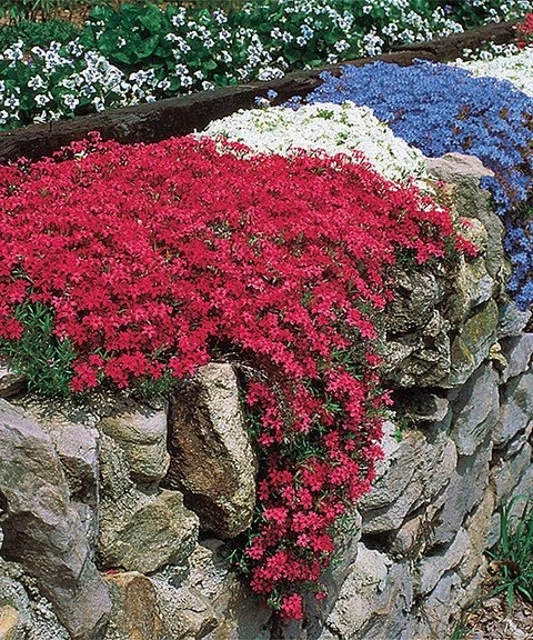 Fragrant Carpet Phlox Garden These brightly hued plants